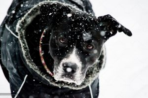 beautiful dog with falling snow closeup photography